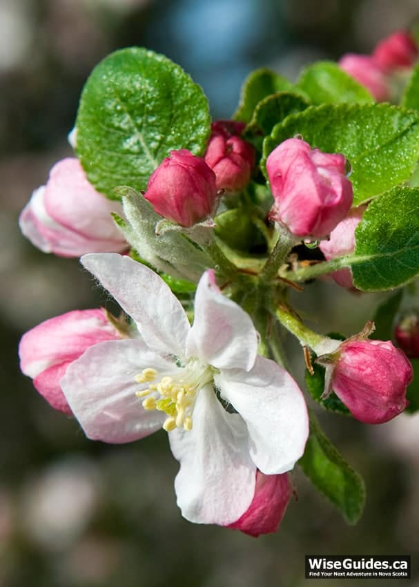 What you need to know about apple blossoms