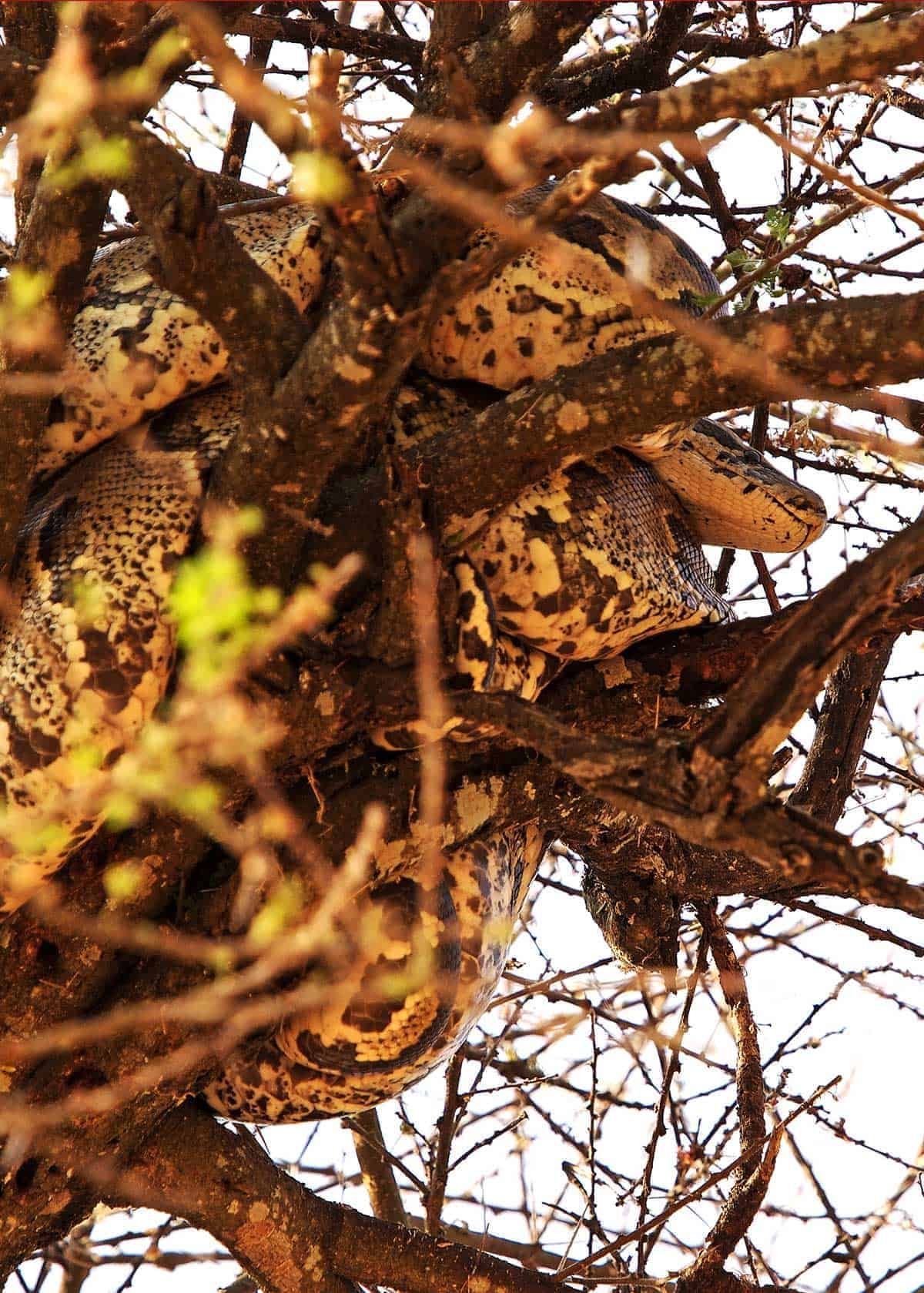 African Rock Python in a tree