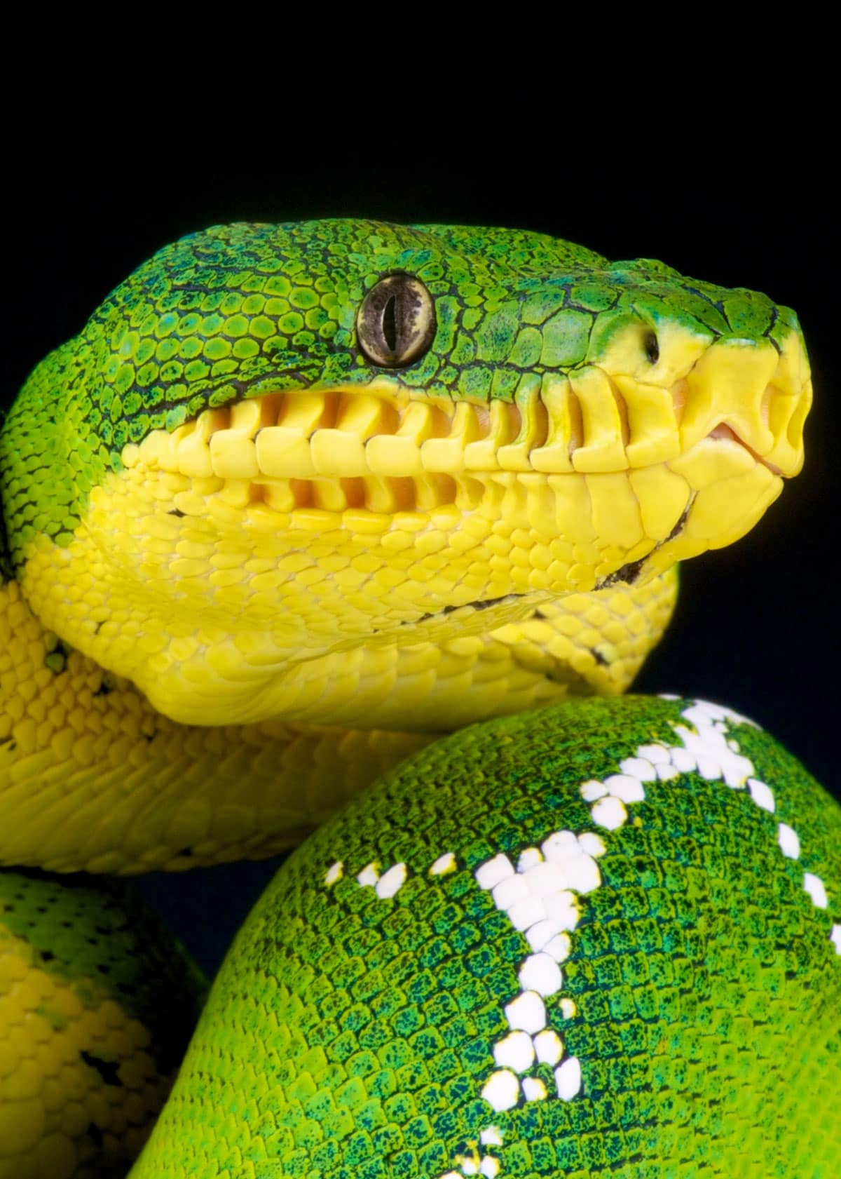 Facts about emerald green boas