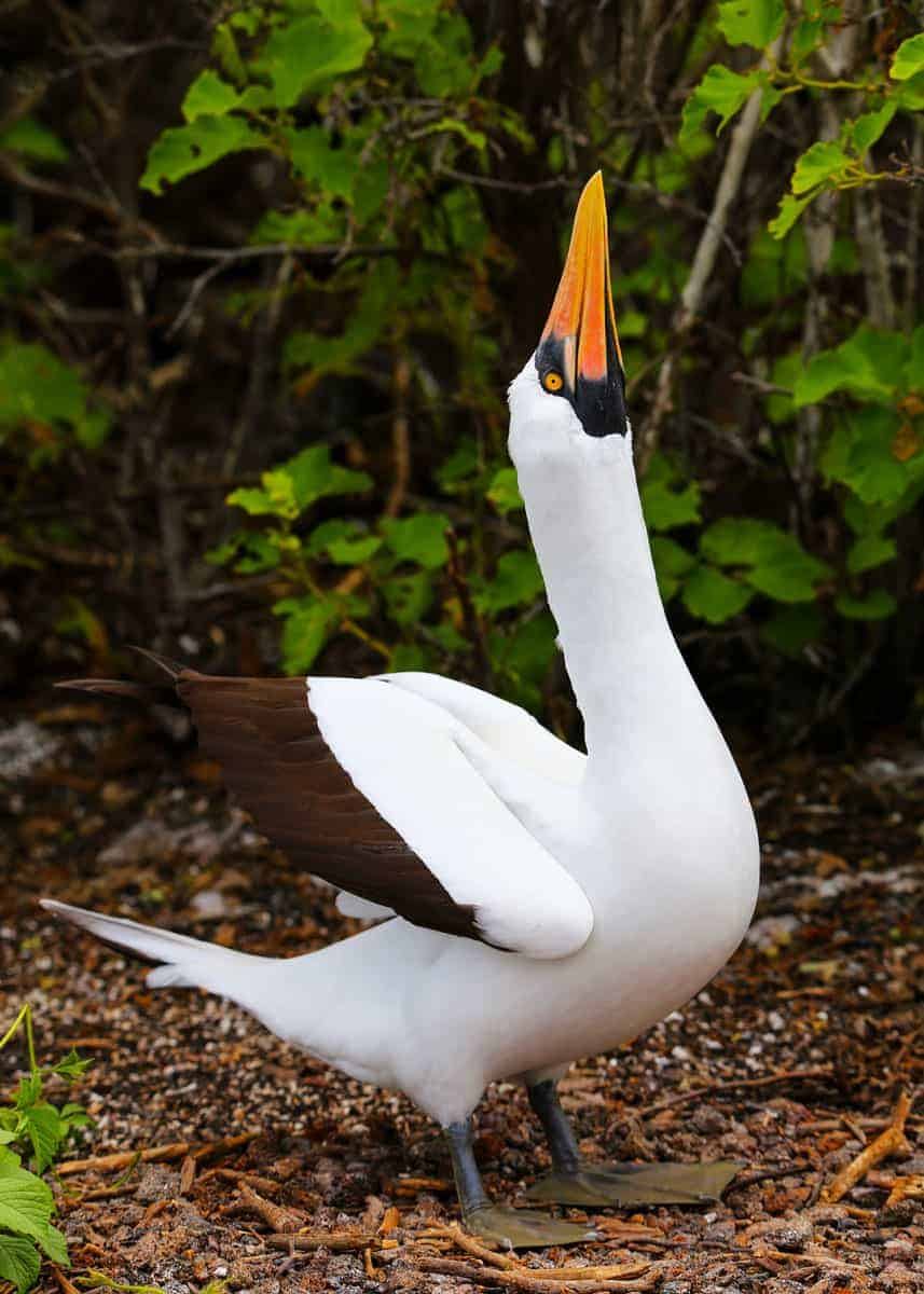 Nazca booby facts