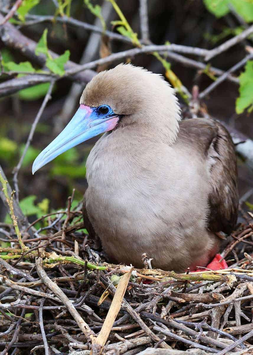 Red footed booby mating
