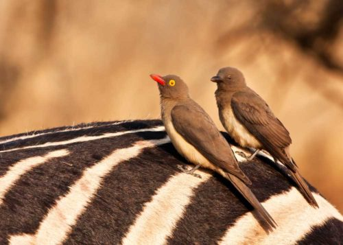 red billed oxpecker