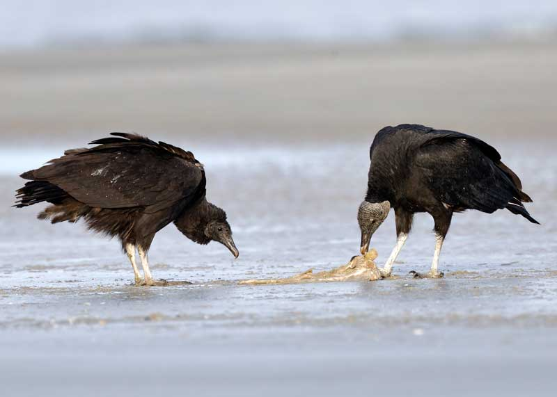 pair of mated black vultures